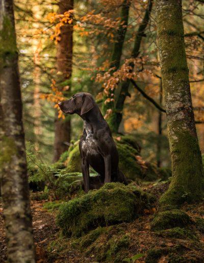 """Un braque en Automne - Photo prise pendant le Workshop """"Authentic Dog Portraiture Scotland 2018"""" organisé par Alice Loder"""