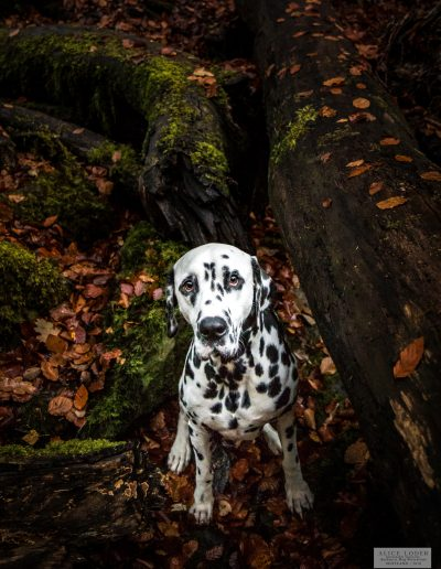 "Perdu dans la foret - Photo prise pendant le Workshop ""Authentic Dog Portraiture Scotland 2018"" organisé par Alice Loder"