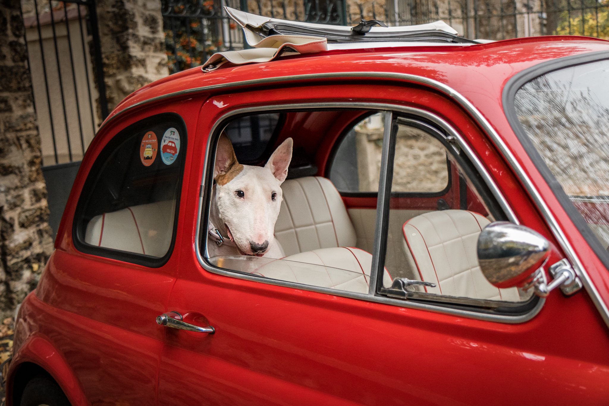 gemma, bull terrier, dans une cinquecento
