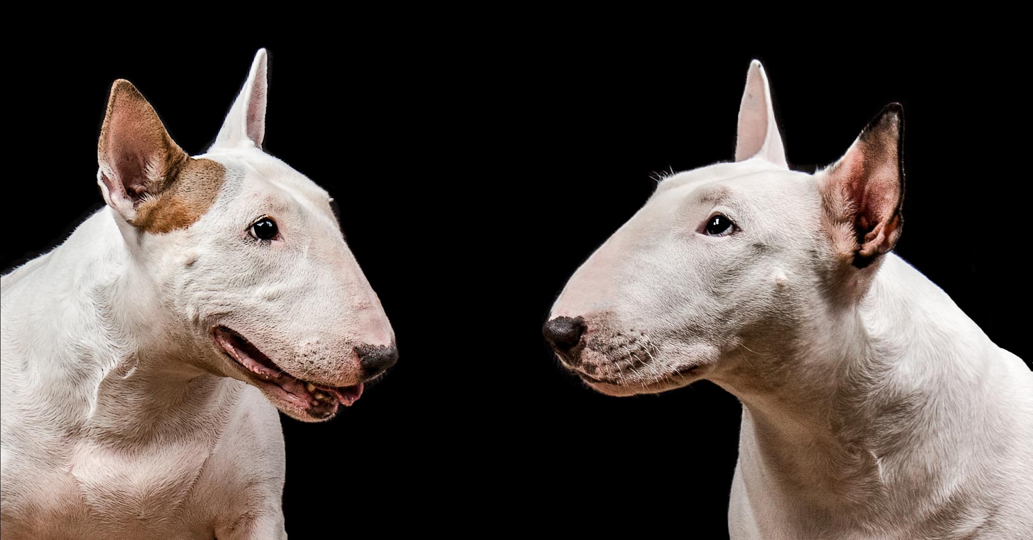 Gemma et Tia, Bull Terrier au Studio sur fond noir
