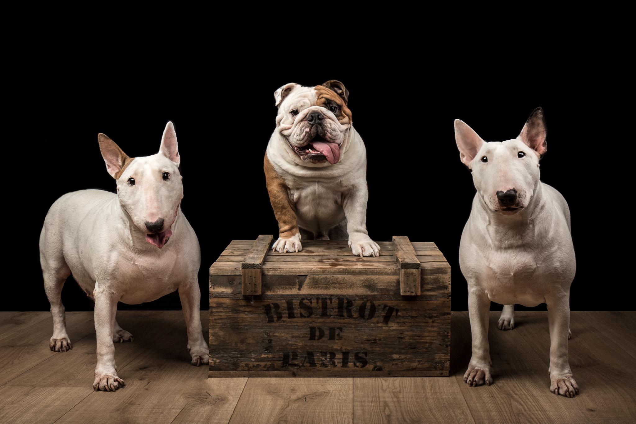 Gemma, Nino et Tia, bull terriers et bouledogues anglais, au studio sur fond noir