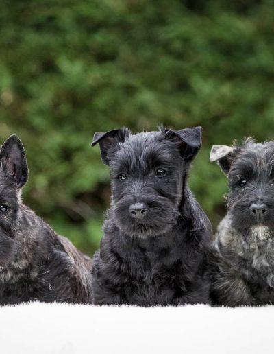 Portée Scottish terriers - élevage You dream Scott